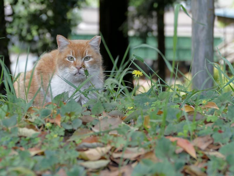 草むらの茶白猫1
