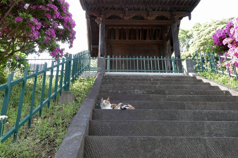 急階段の途中の三毛猫