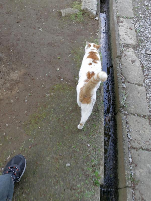尻尾を立てて参道端を歩く白茶猫1