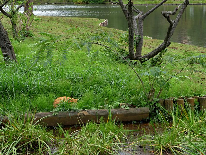 草むらで寝ている茶トラ猫1
