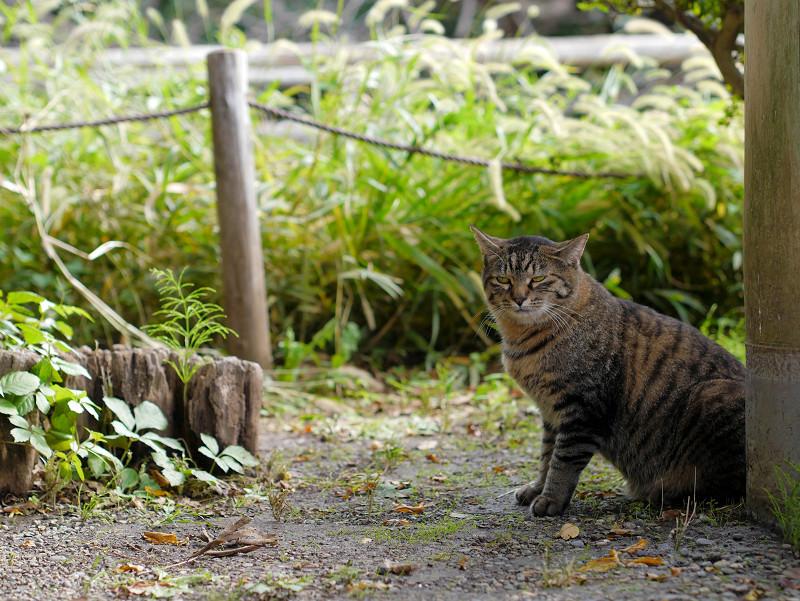 柱と切り株とキジトラ猫2