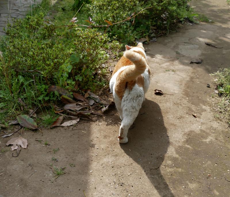 足元を通り過ぎた白茶猫2
