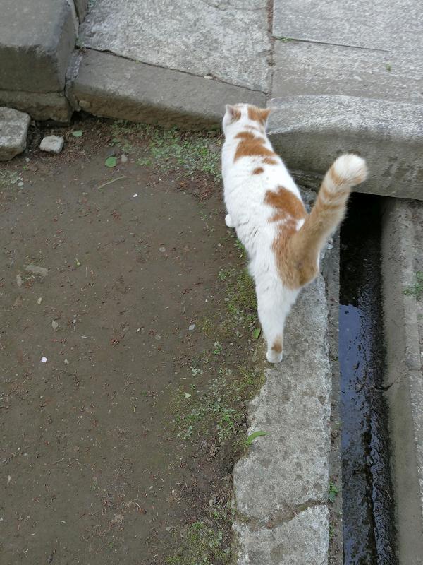 尻尾を立てて参道端を歩く白茶猫2