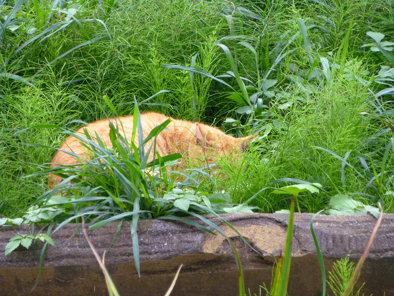 草むらで寝ている茶トラ猫2