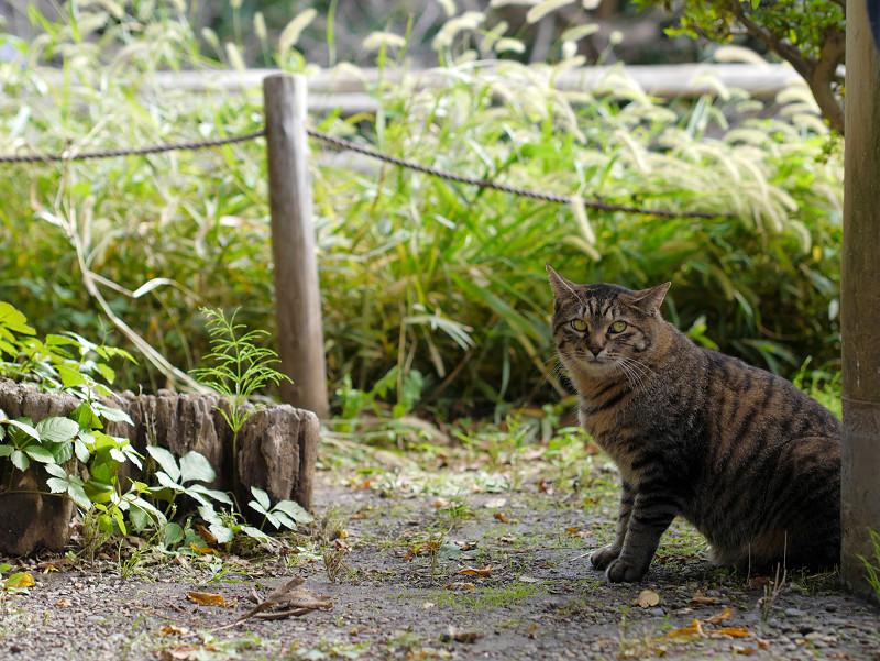 柱と切り株とキジトラ猫3