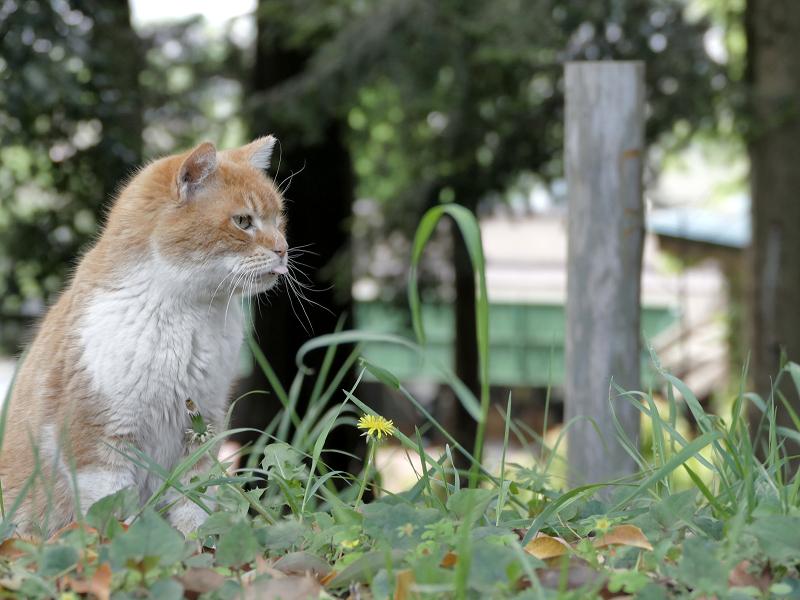 草むらの茶白猫3