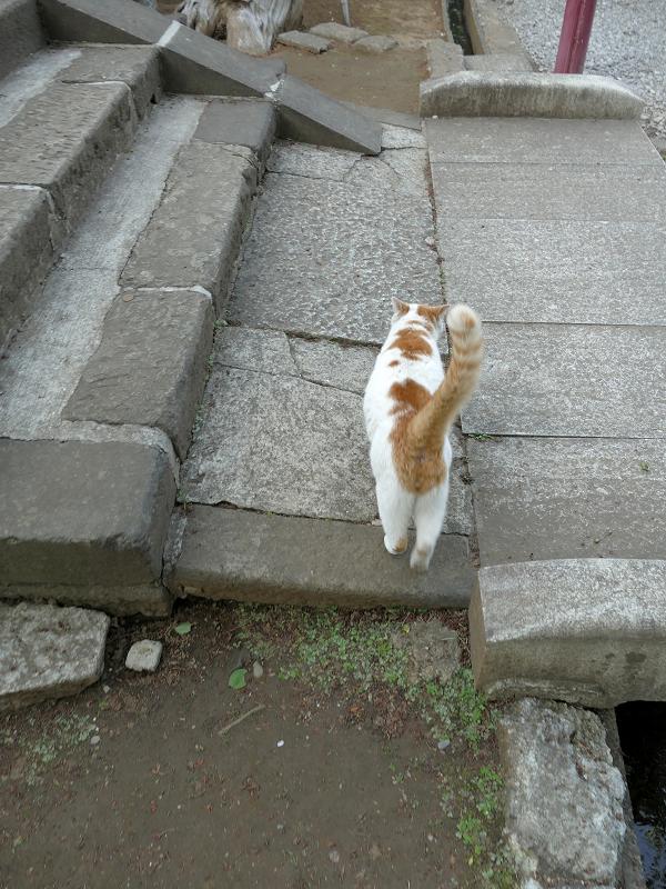 尻尾を立てて参道端を歩く白茶猫3