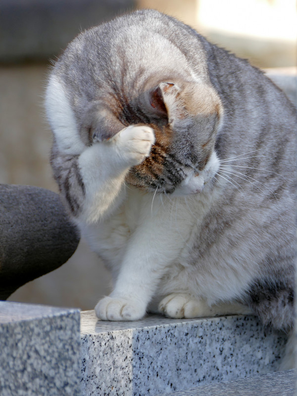 御影石の上で毛づくろいするグレー猫4