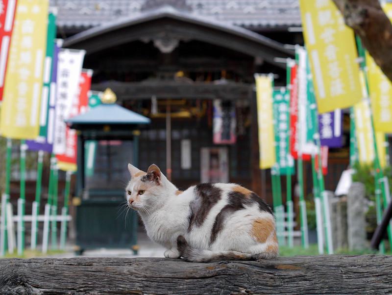 山門の薄三毛猫1