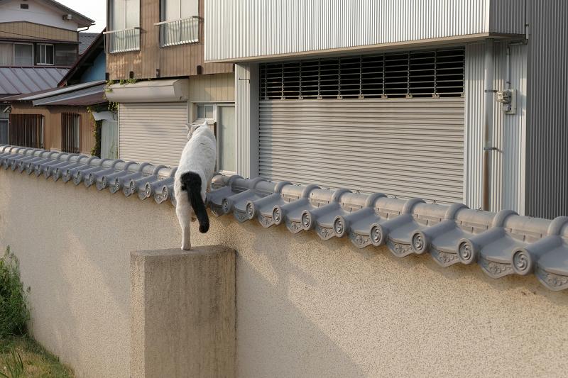 墓苑壁の瓦を歩いて立ち去る白黒猫1