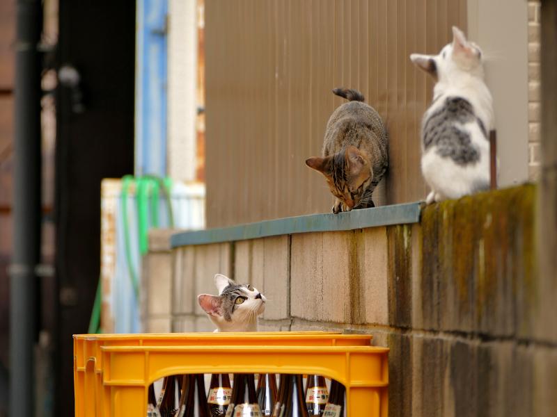 ブロック塀から降りる仔猫1
