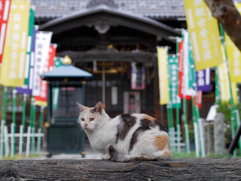 山門の薄三毛猫2