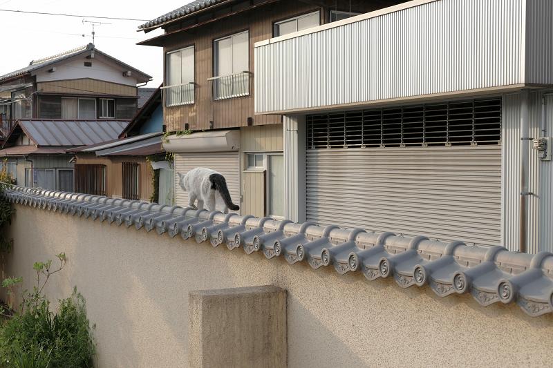 墓苑壁の瓦を歩いて立ち去る白黒猫2