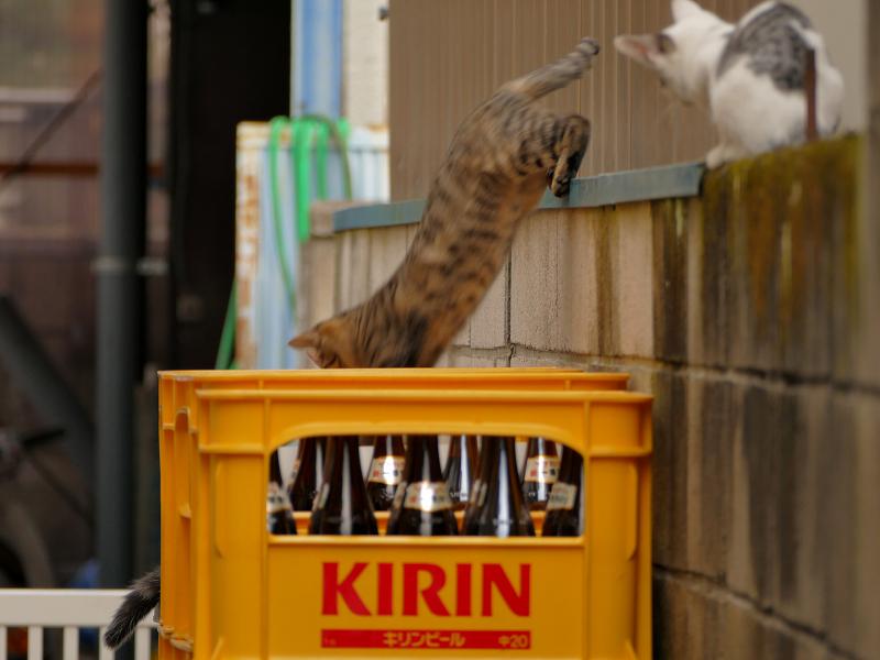 ブロック塀から降りる仔猫2