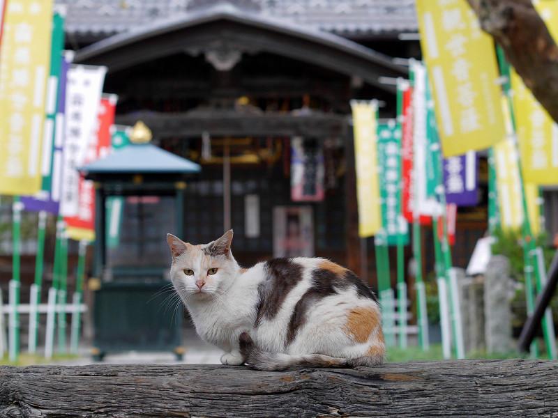 山門の薄三毛猫3
