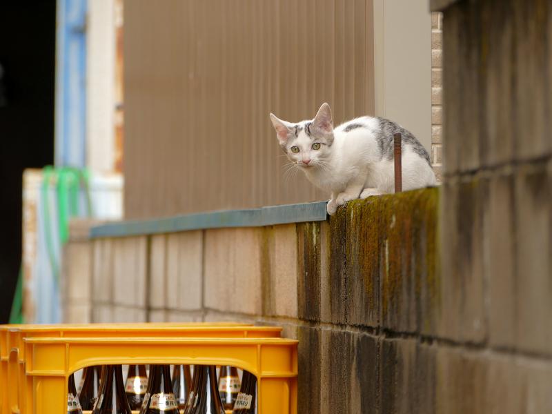 ブロック塀から降りる仔猫3