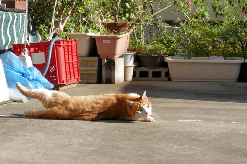 転がり続けた茶白猫3