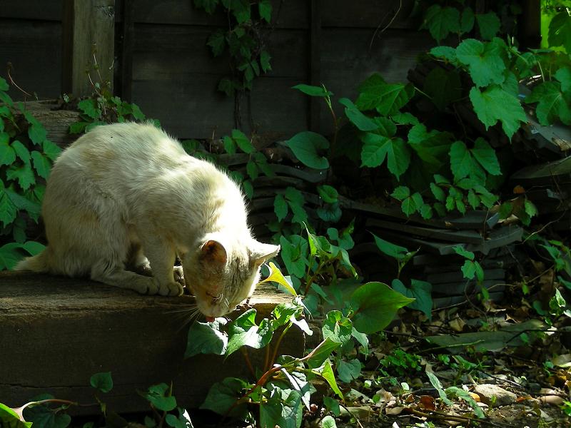 葉っぱにベロを出している白猫