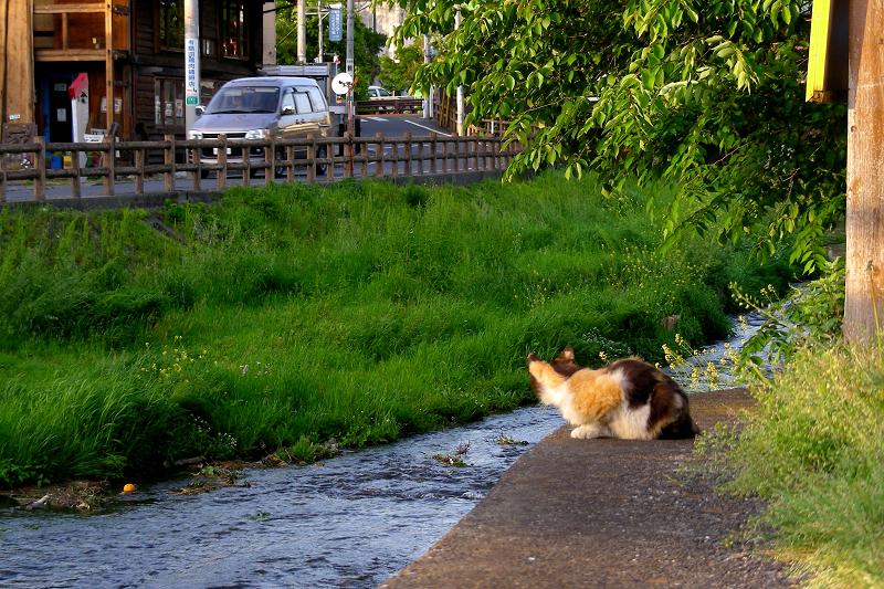 川を見ていた三毛猫1