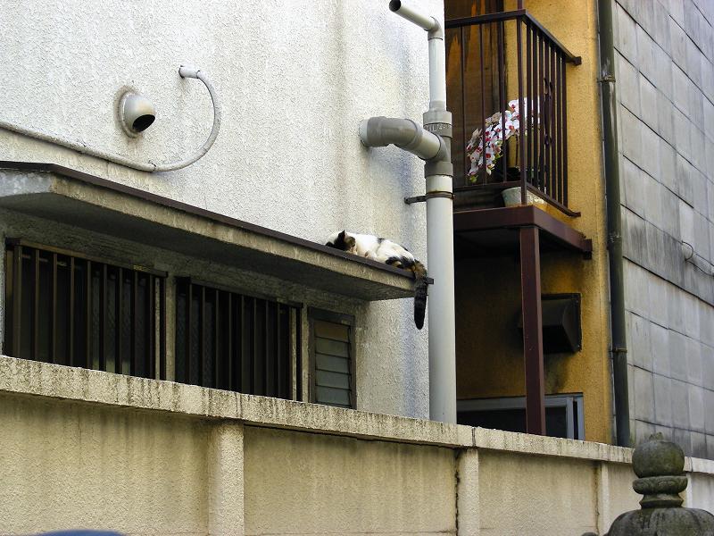 庇で寝ている白キジ猫1
