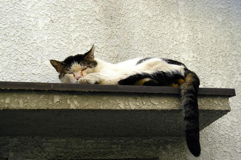 庇で寝ている白キジ猫2