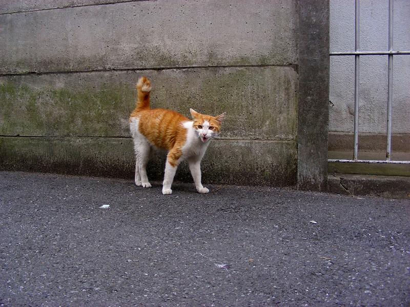 路地を歩く茶白猫2