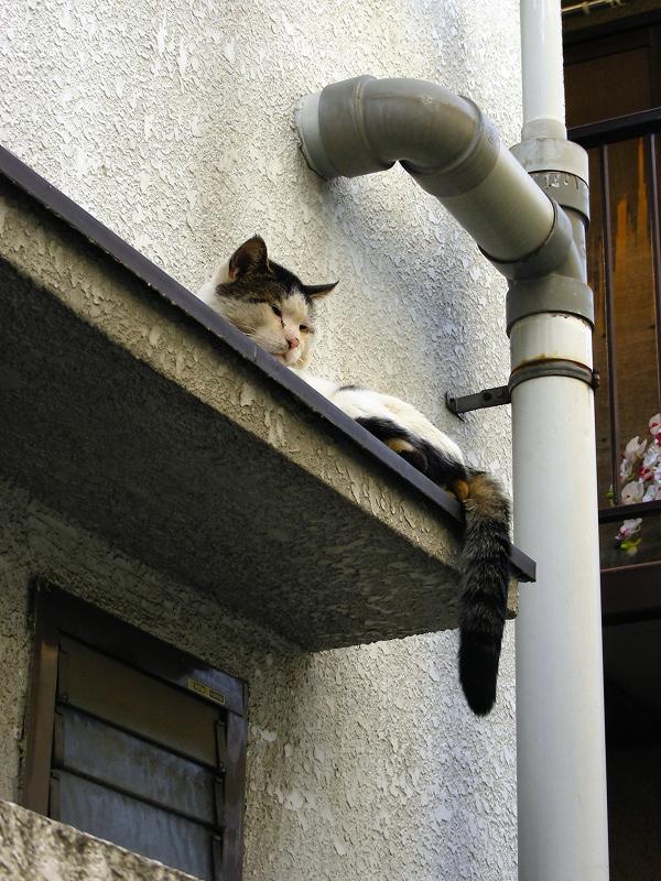 庇で寝ている白キジ猫3
