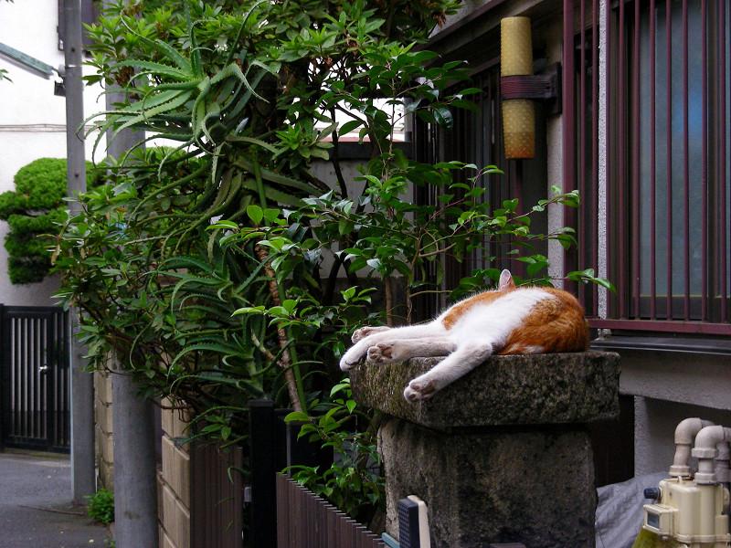門柱で寝ている茶白猫3