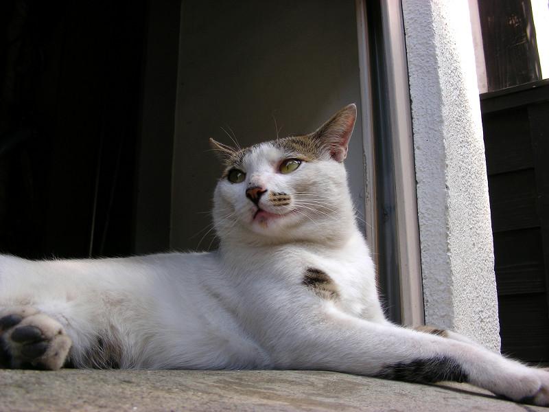 ガレージで腹ばってる白キジ猫3
