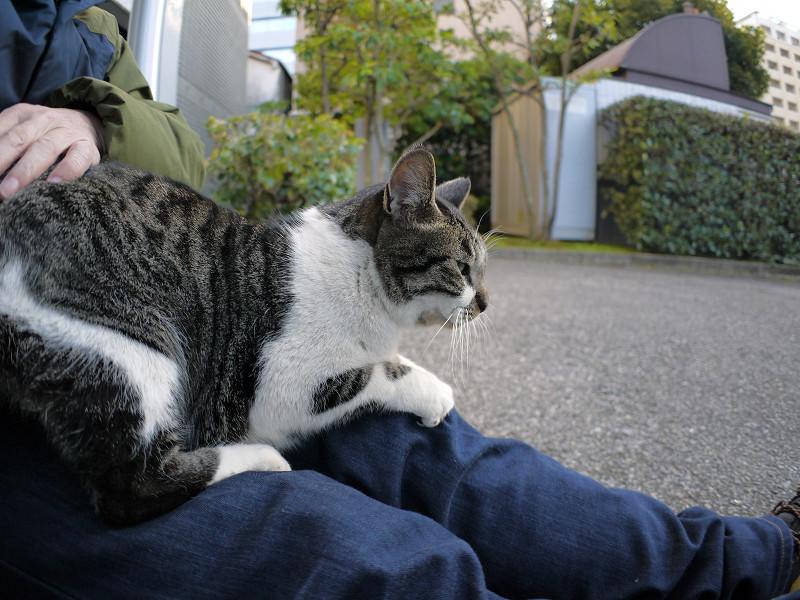 膝で爪研ぐキジ白猫1