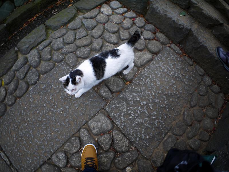 足もとを歩く白キジ猫1