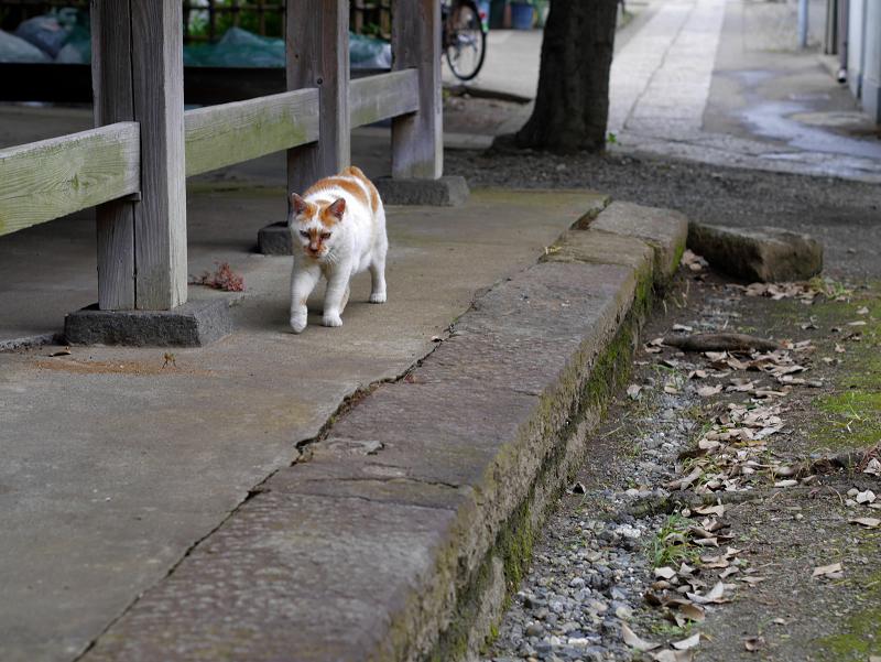やっと登場の白茶猫1