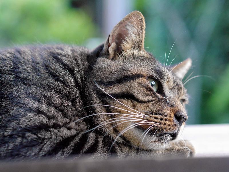 板の上で寝ているキジトラ猫1