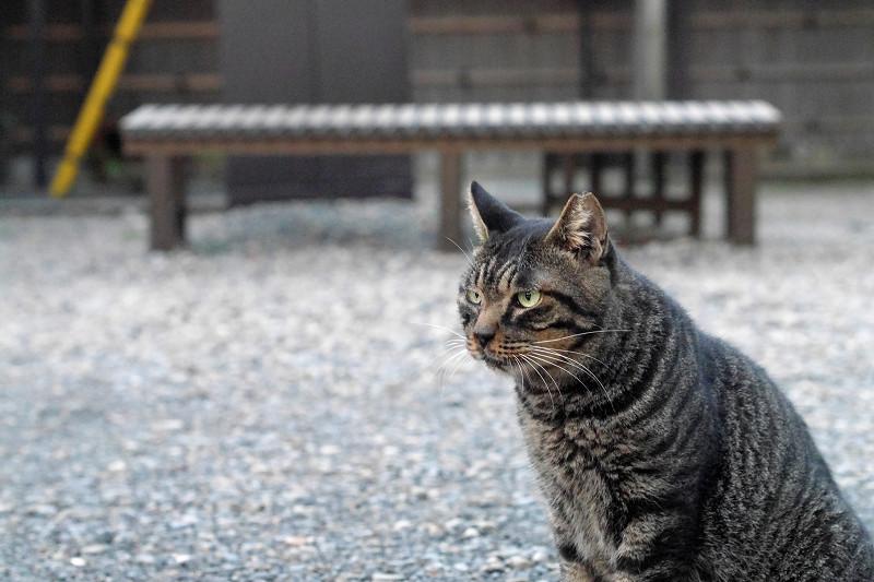 ベロ出し続けるキジトラ猫1