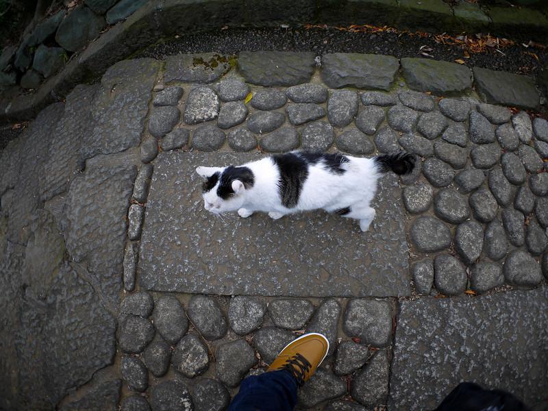 足もとを歩く白キジ猫2