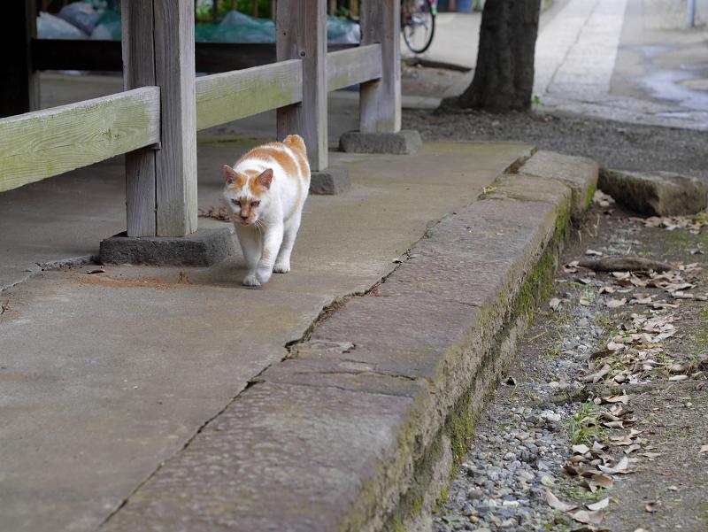 やっと登場の白茶猫2
