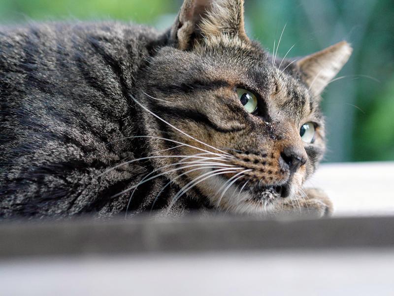 板の上で寝ているキジトラ猫2