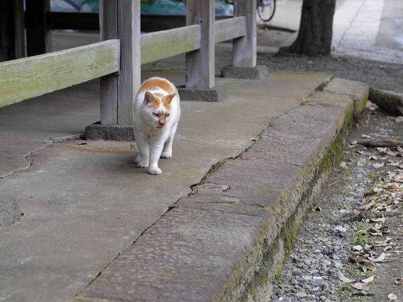 やっと登場の白茶猫3