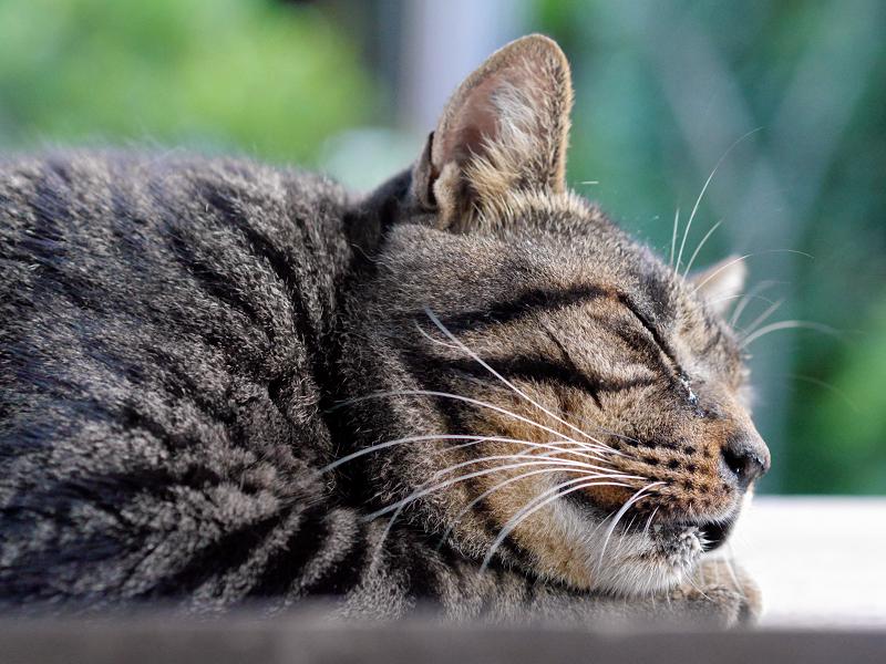 板の上で寝ているキジトラ猫3