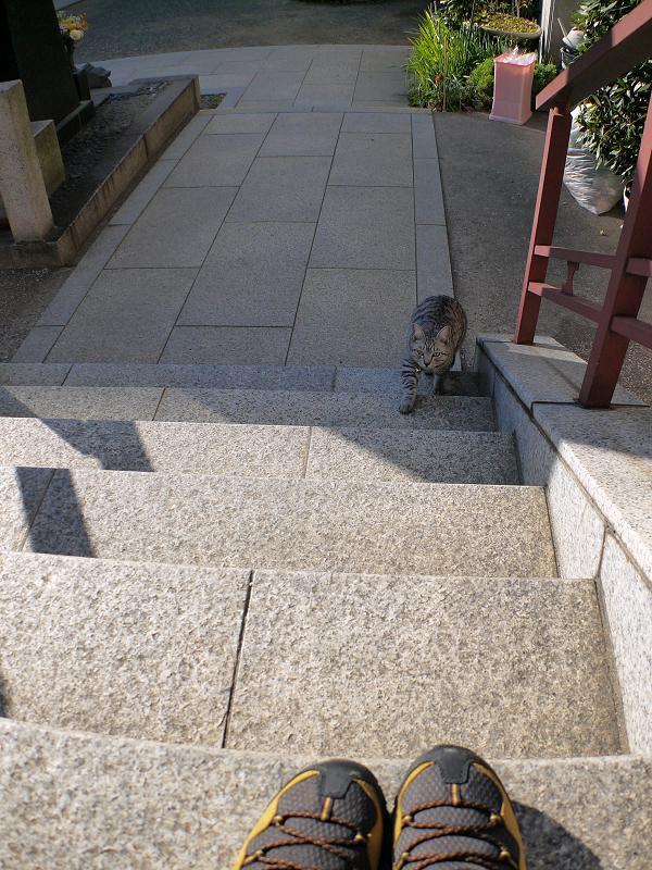 階段を上がるサバトラ猫1