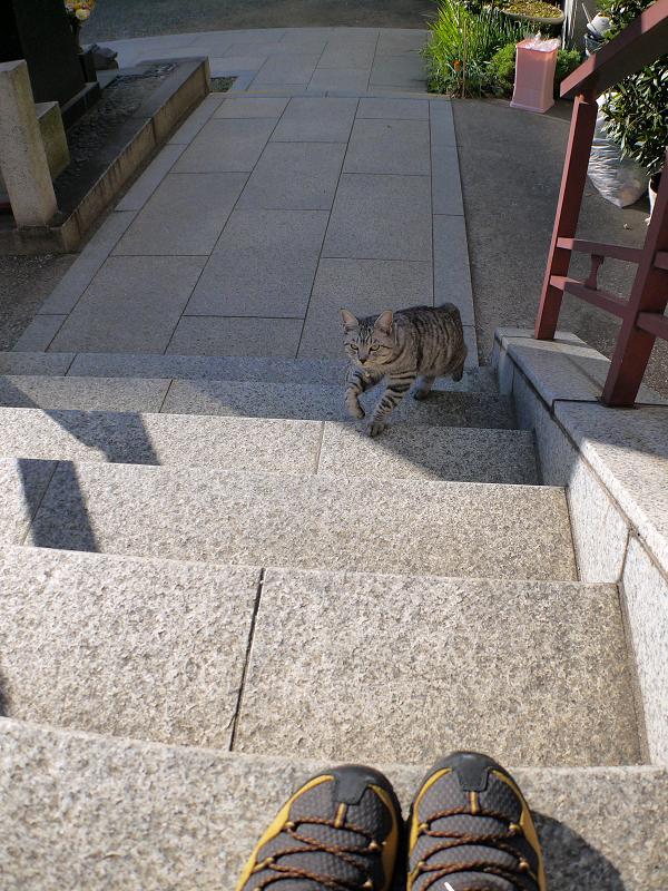 階段を上がるサバトラ猫2