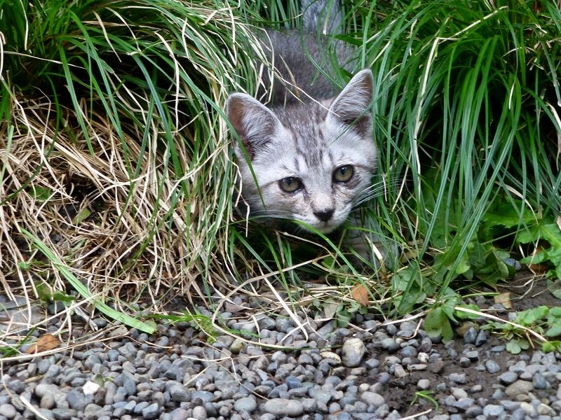 草むらに仔猫2