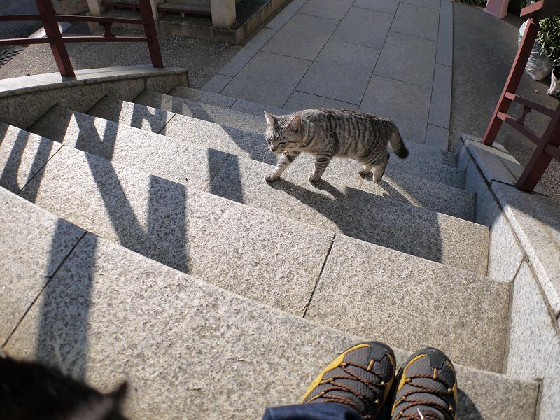階段を上がるサバトラ猫3