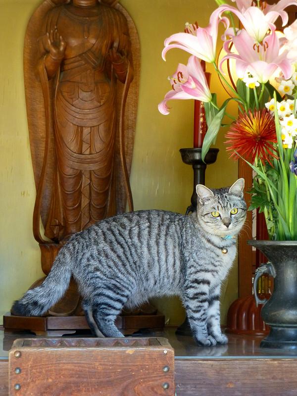 お堂祭壇のサバトラ猫3