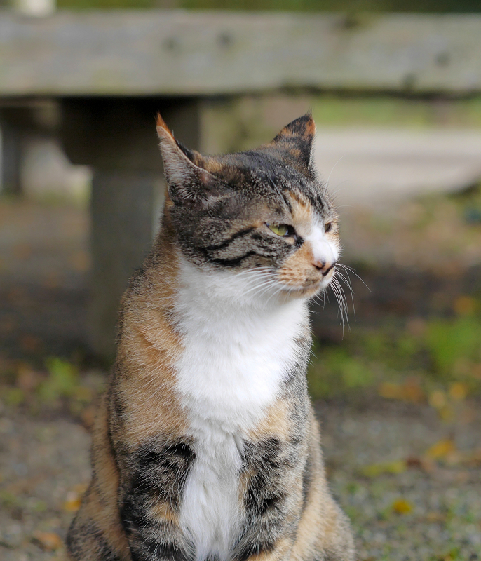 耳が水平の三毛猫1