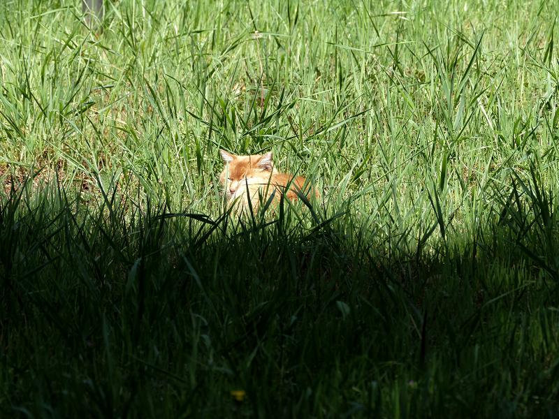 草むらと茶白猫1