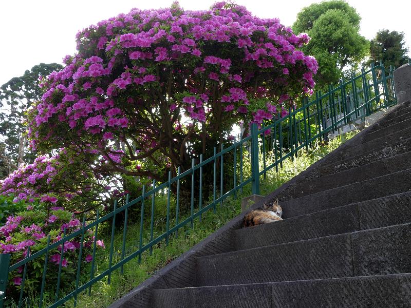 急階段とツツジと三毛猫1