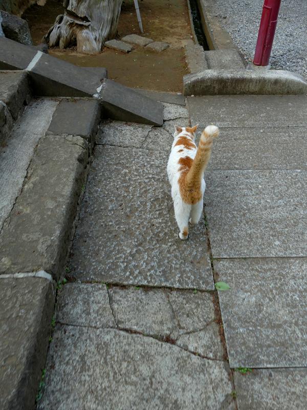 尻尾をまっすぐ立ててる白茶猫1