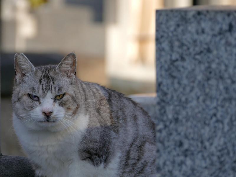 墓苑のグレー猫1