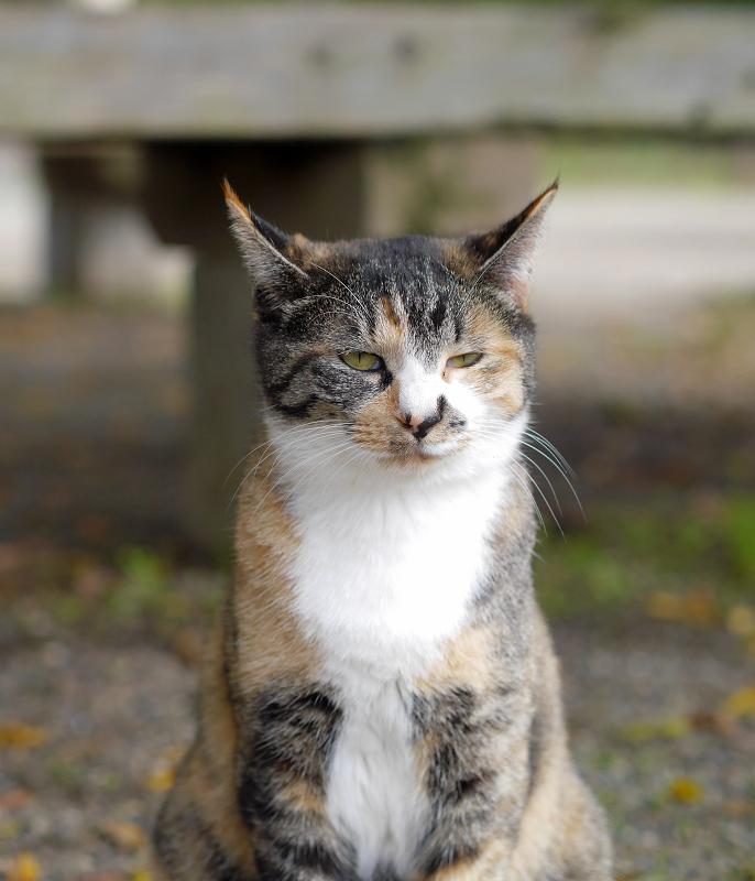 耳が水平の三毛猫2